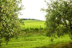 Merlot- och Sangiovese vingård i den italienska bygden Umbri arkivfoton