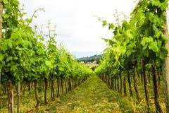 Merlot- och Sangiovese vingård i den italienska bygden Umbri royaltyfria foton