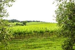 Merlot- och Sangiovese vingård i den italienska bygden Umbri royaltyfria bilder