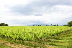 Merlot- och Sangiovese vingård i den italienska bygden Umbri arkivfoto
