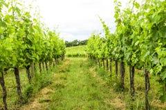 Merlot- och Sangiovese vingård i den italienska bygden Umbri arkivbild