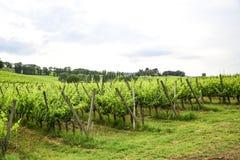 Merlot- och Sangiovese vingård i den italienska bygden Umbri fotografering för bildbyråer