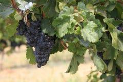 Merlot van de druif Royalty-vrije Stock Afbeeldingen