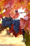 merlot verticle winogron Fotografia Stock