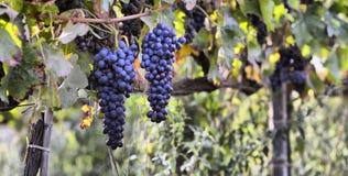 Merlot winogrona Obrazy Stock