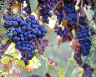 Merlot winogrona Fotografia Royalty Free