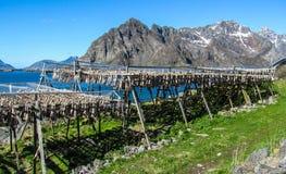 Merluzzo di secchezza su Lofoten Immagini Stock