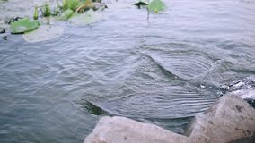 Mermaid beats river water with its adorable tail with gray dark fins and silvery scales near stones and plants, leaves. That float on the water in slow motion stock footage