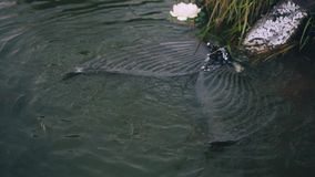 A mermaid moves and waves her amazing tail with gray dark fins and silvery scales near stones and plants, a lotus flower. Floats on water in slow motion in the stock footage