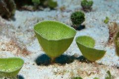 Mermaids tea cup algae Stock Photography