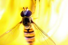 Mermelada hoverfly Fotografía de archivo libre de regalías