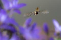 Mermelada hoverfly Foto de archivo libre de regalías