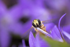 Mermelada hoverfly Foto de archivo