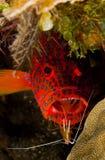 Mero del leopardo con un camarón más limpio Fotos de archivo