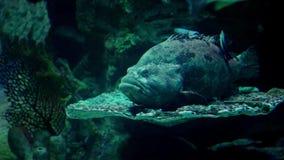 Mero del monstruo de mar almacen de video