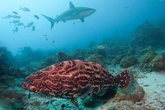Mero grande en un área que introduce del tiburón Imagen de archivo