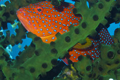 Mero raro del arco iris que oculta en coral negro del capellán Burgos, Leyte, Filipinas Fotografía de archivo