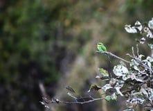 Merops apiaster Stock Image