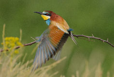 (Merops apiaster zdjęcie royalty free