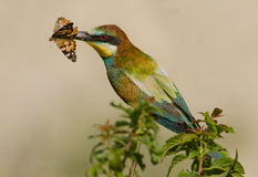 Merops apiaster Obrazy Royalty Free