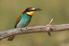 Merops apiaster Bee-eater Stockfotos