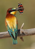 Merops apiaster Bee-eater Lizenzfreie Stockfotografie