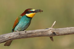 Merops apiaster bee-eater with a bee green backgro. Und Stock Photos