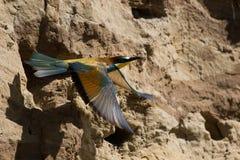 Merops apiaster, europäischer Bee-eater Stockbild