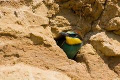 Merops apiaster, europäischer Bee-eater Stockfotografie