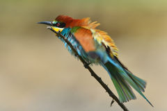 Merops apiaster 2. The European bee-eater (Merops apiaster Stock Photos
