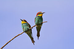 Merops apiaster 3. The European bee-eater (Merops apiaster Stock Photography