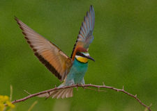 Merops apiaster Stock Photography