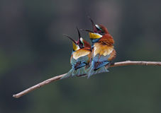 Merops apiaster Royalty Free Stock Image