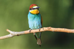 Merops apiaster sitting on a dry branch   green background Stock Photos
