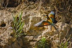 Merops hermoso Apiaster del pájaro Fotografía de archivo
