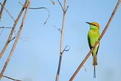 Merops orientalis, grüner Bee-eater Lizenzfreie Stockfotos