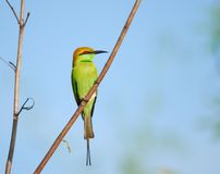 Merops orientalis, green bee-eater Royalty Free Stock Images