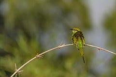 Merops orientalis lub Zielony pszczoła zjadacz obrazy stock