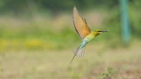 Merops philippinus - Blue Tailed bee eater takeoff, with full-stretched wings royalty free stock photo
