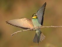 Meropsapiaster Royaltyfria Bilder