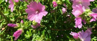 Merremia divide con le fioriture rosa Fotografie Stock