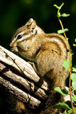 Merriam S Chipmunk Royalty Free Stock Images