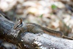 Merriam's Chipmunk - Tamias merriami Stock Photography