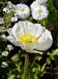 Merriamii Arctomecon, белый мак в саде Стоковая Фотография