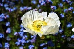 Merriamii Arctomecon, белый мак в саде Стоковые Изображения
