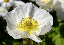 Merriamii Arctomecon, белый мак в саде Стоковое Фото
