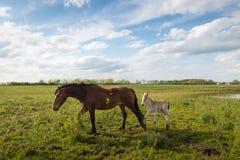 Merrie en haar veulen die in het gras lopen royalty-vrije stock afbeeldingen
