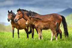 Merrie en veulen in kudde royalty-vrije stock afbeeldingen
