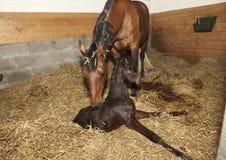 Merrie en veulen na geboorte Royalty-vrije Stock Foto's