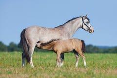 Merrie en veulen op gebied Paarden die gras buiten eten Stock Foto's